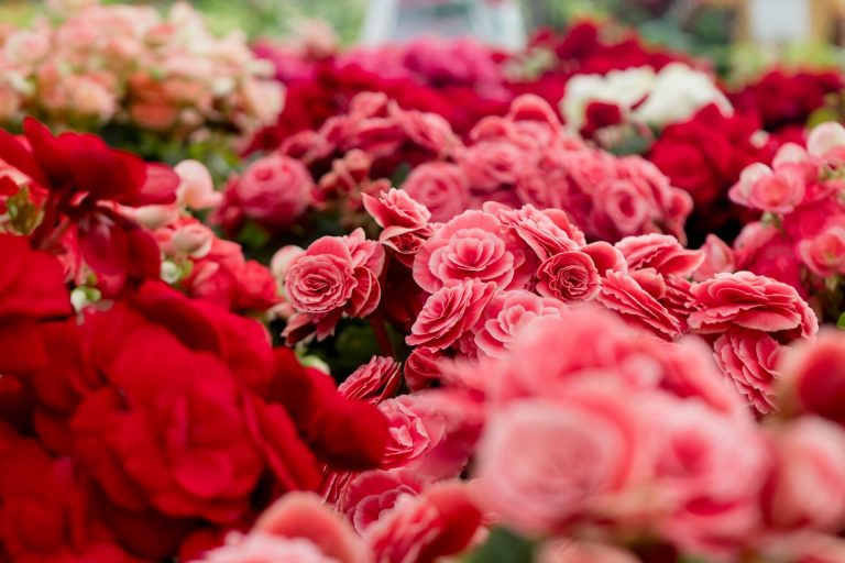 Meanings Of Each Rose Shade Everyone Should Know About!!!